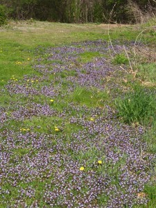ground ivy swath