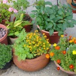 Herbs in happy profusion in containers