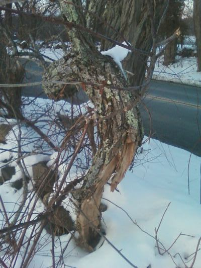 black locust branch