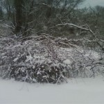 snow-covered mulitflora rose vines