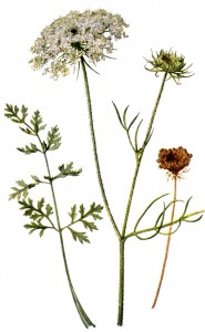 Queen Anne's lace Daucus_carota