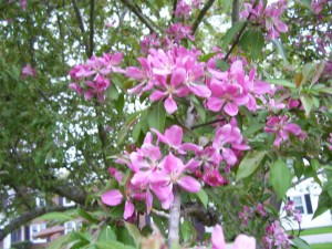 Fuschia crabapple blossoms