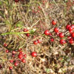 multiflora rosehips