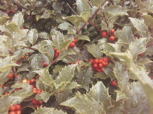 Holly with berries.